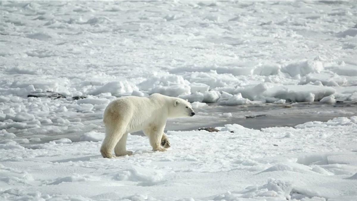 北極熊聞攝影師體味跟蹤!張嘴狂咬玻璃罩…震撼畫面曝光