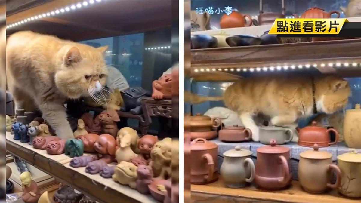 步步驚心!貓皇淡定巡視陶器店 網友心臟卻快停了