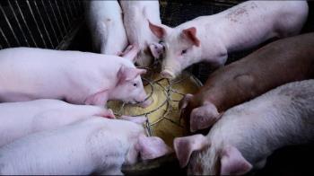 桃園又見兩頭棄死豬  市府推動廚餘養豬轉型