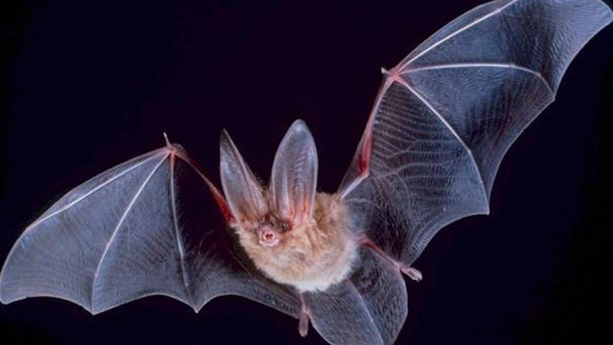 會傳人!大陸蝙蝠出現「類伊波拉病毒」 感染釀致命性出血