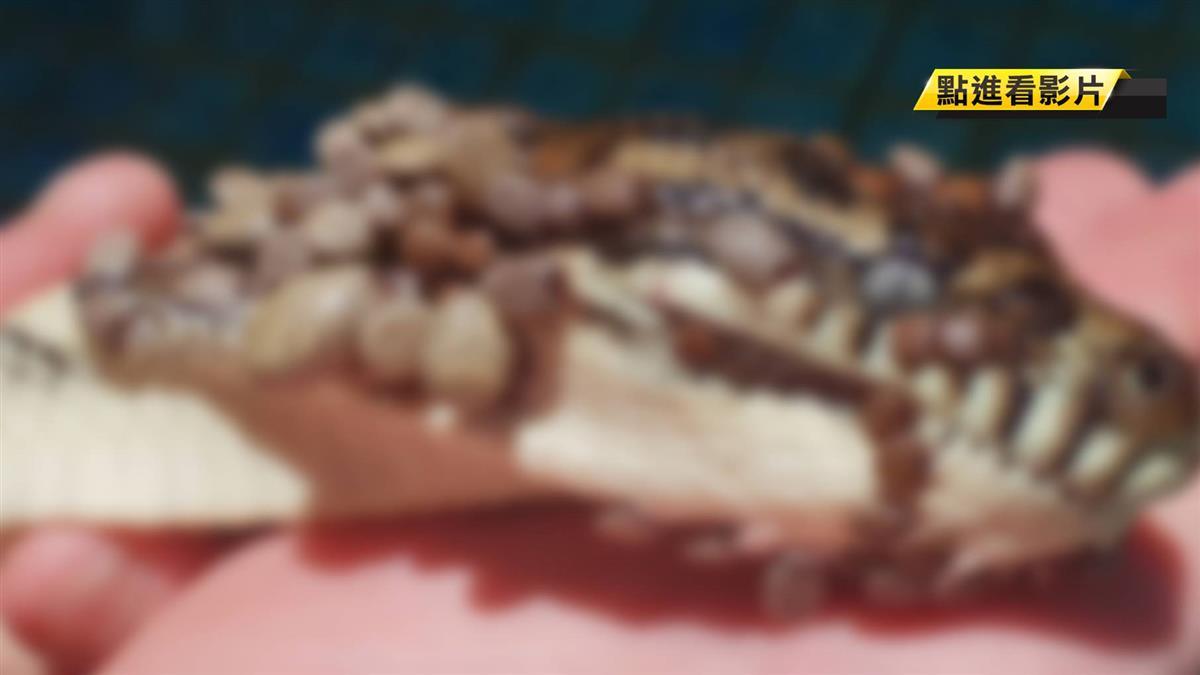 密恐慎入!蟒蛇遭511隻壁蝨狠咬 痛到跳水「想同歸於盡」