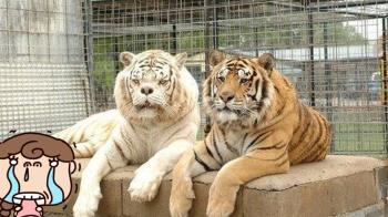 世界最醜老虎悲憤撞牆!壽命僅10年 背後原因超心酸