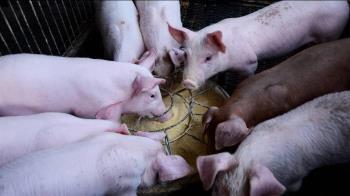 防範豬瘟!廚餘養豬場需檢核 屏東縣爭取延到2月底