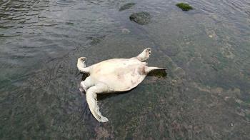 鼻酸!基隆潮境保育區驚見「斷頭海龜」
