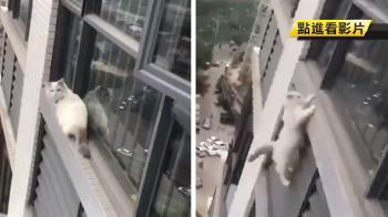 爬出窗腳滑失足!小白貓絕望攀牆 2秒後慘墜高樓