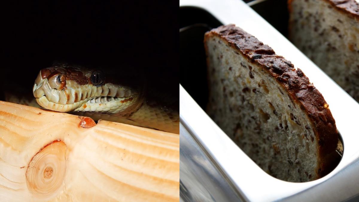 烤麵包機滋滋作響!她嚇歪…「地毯蟒蛇」被烤熟了