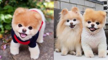 永別了…帶給人們13年快樂溫暖 全球最萌狗明星Boo離世