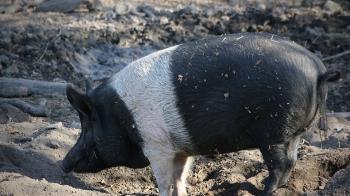 「豬屍」扔300米深海…驚悚影片曝光!科學家目瞪口呆