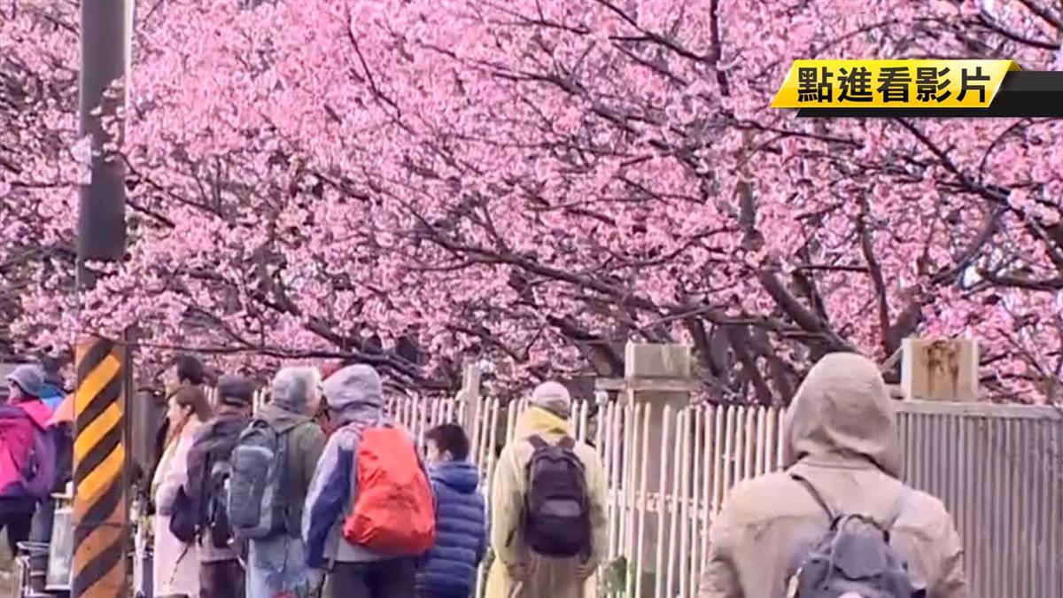 【獨家】陽明山秘境!「這裡」櫻花開8成 進去就收200元