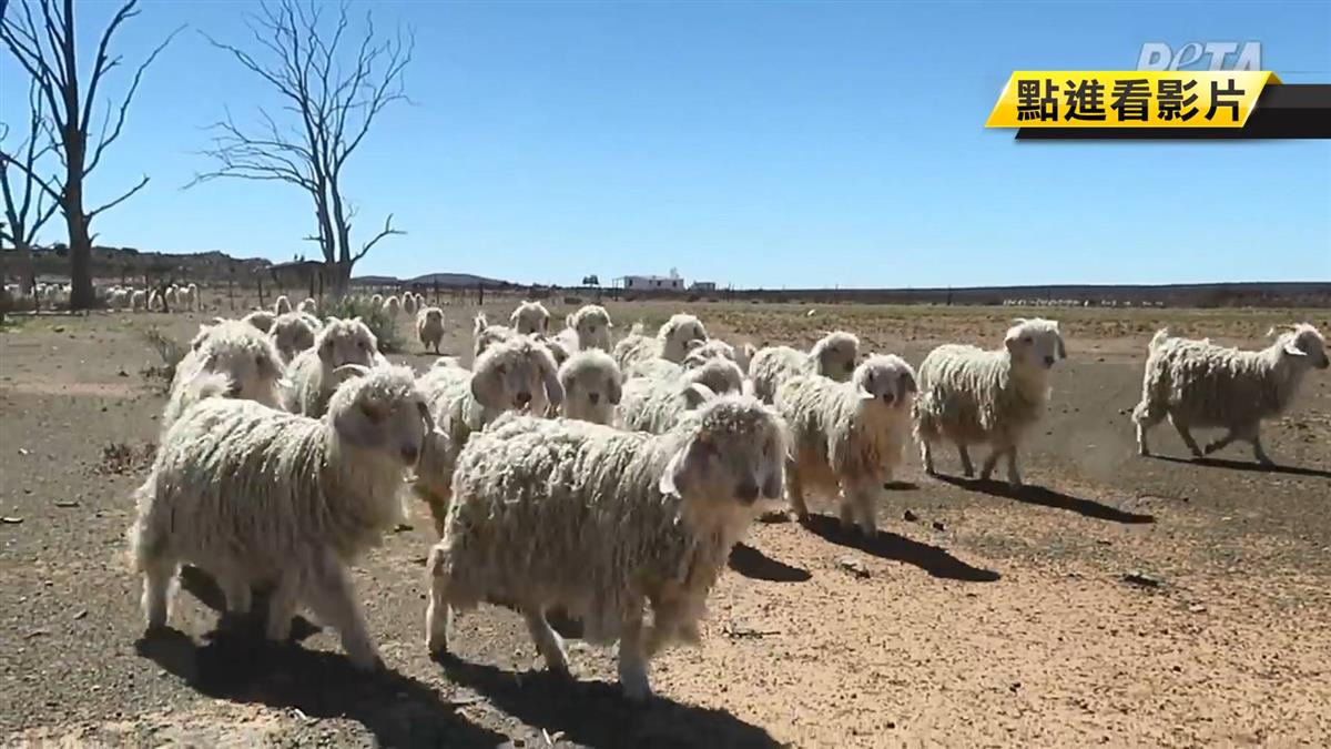 4萬山羊遭割喉斷頭慘死!「馬海毛衣」殘忍製作畫面曝光