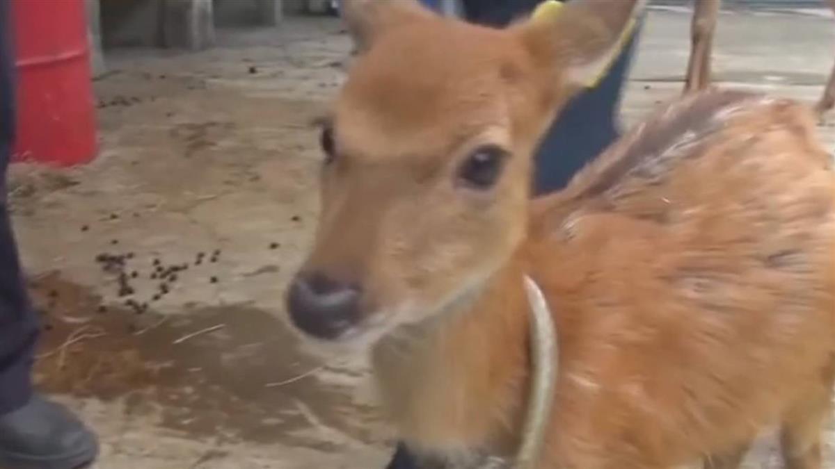 奈良鹿攻擊遊客!年逾200人受傷骨折 創歷史新高