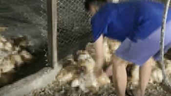過年放煙火…雲林養雞場雞群受驚相互踐踏 1500隻一夜死亡