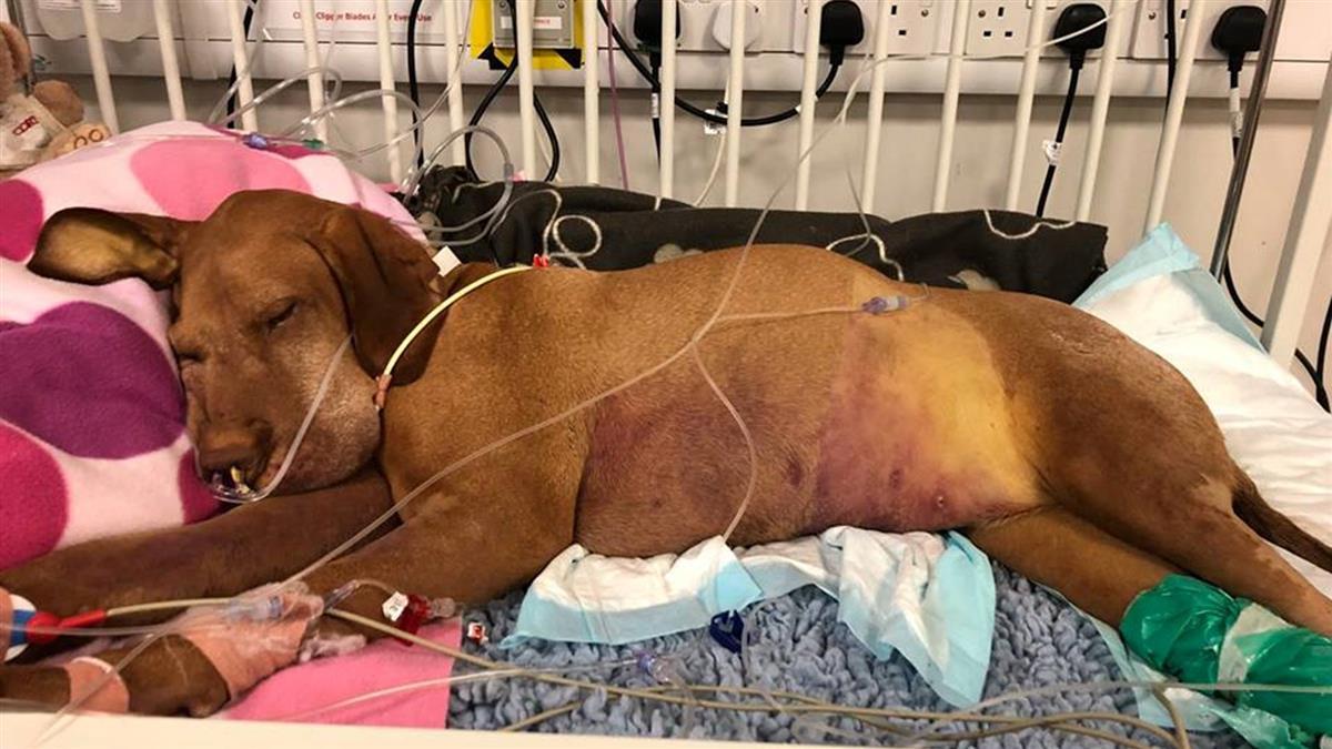 偷吃2塊木糖醇布朗尼 7歲毛小孩癱床插管…肝衰竭亡