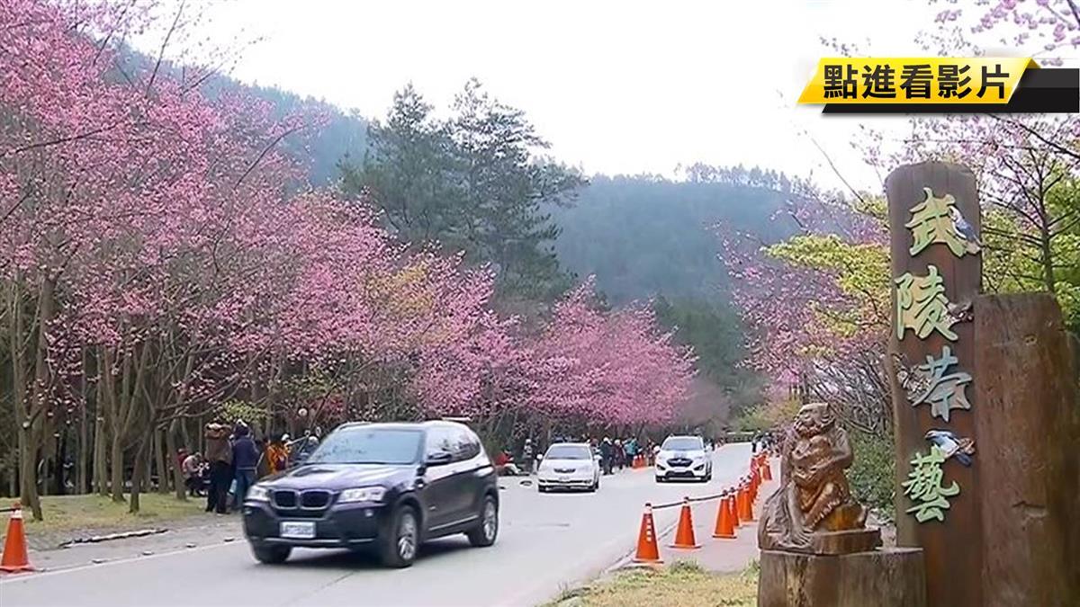 天氣超好!武陵櫻花祭登場 在家觀看直播花況