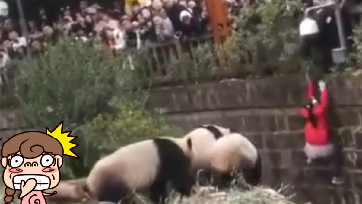 只差一步!女童跌落飼養池 遊客嚇壞大叫:熊貓來了