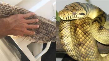 驚見6米長蛇皮!閣樓藏「神秘蛇窩」 她瞞丈夫40年
