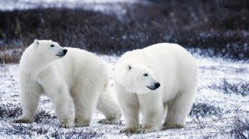 暖化海冰融北極熊大舉入侵 俄新地島進入緊急狀態