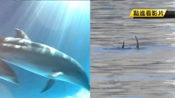 基隆港現稀客!3隻瓶鼻海豚 疑覓食誤闖迷航