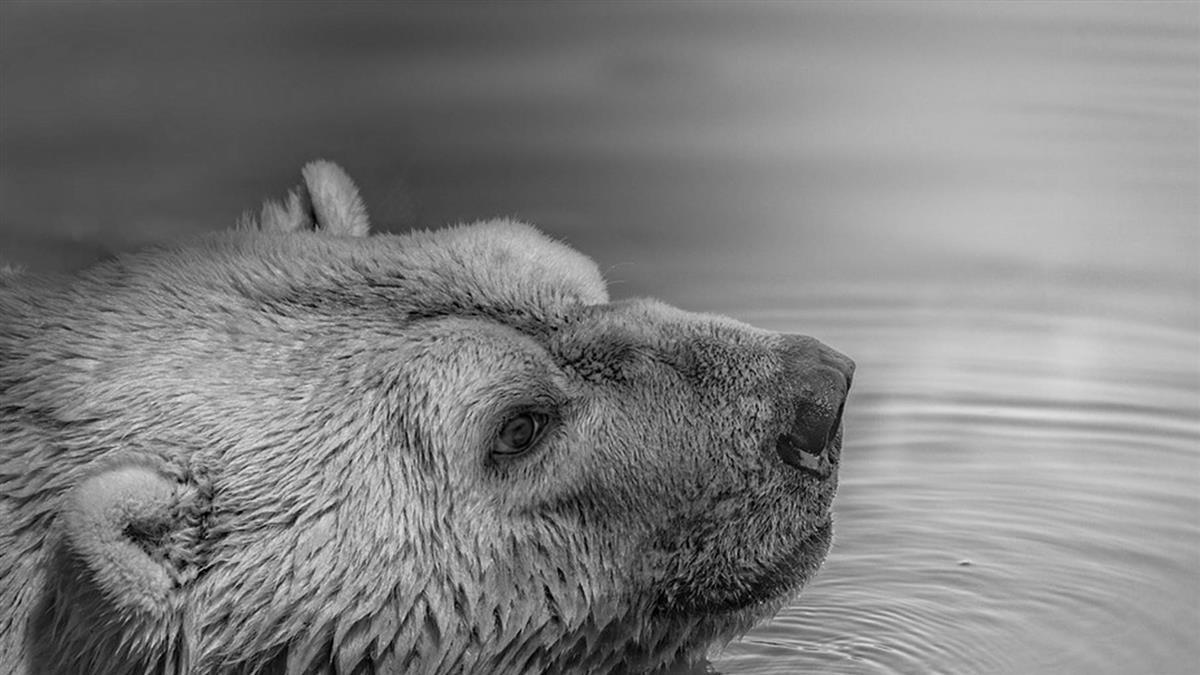 震撼!全球暖化50隻北極熊結群入侵  私闖俄國民宅