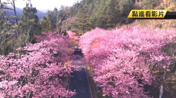 夢幻粉紅林盛開8成!今年花期長 武福櫻花預計開到4月