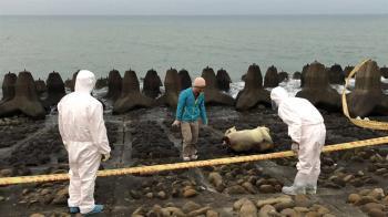 新竹海岸發現死豬?化驗確認為死亡羊隻