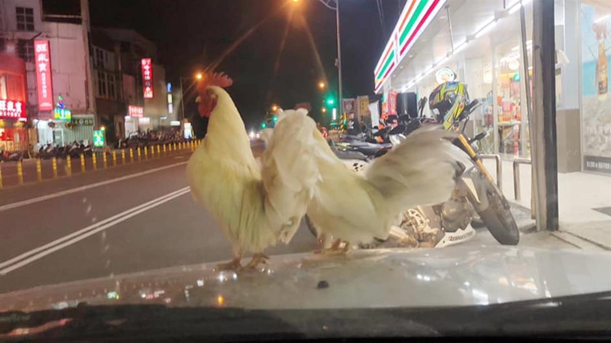 驚見2隻白雞停車上!網笑煮來吃 他急喊:撿了會招禍