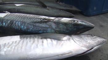 大豐收!暖冬東部土魠魚不減反增 價格看漲漁民樂