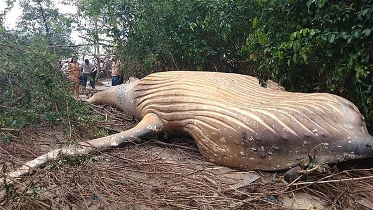 離奇?!亞馬遜叢林內出現10噸重鯨屍