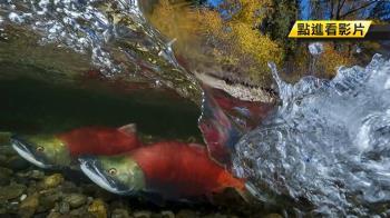用生命拍照!6天泡6度水拍鮭魚 奪世界級水攝賽首獎