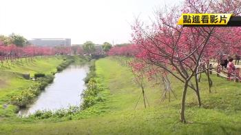 賞櫻不用到山上 台中新秘境滿開櫻花成景點