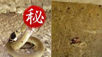 世紀最毒物種對決!澳洲毒蜘蛛比拚棕蛇 結局超傻眼