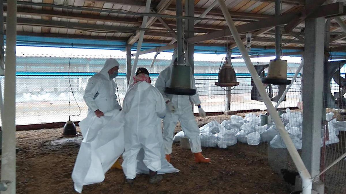 彰化大城土雞染禽流感  撲殺3萬3400隻