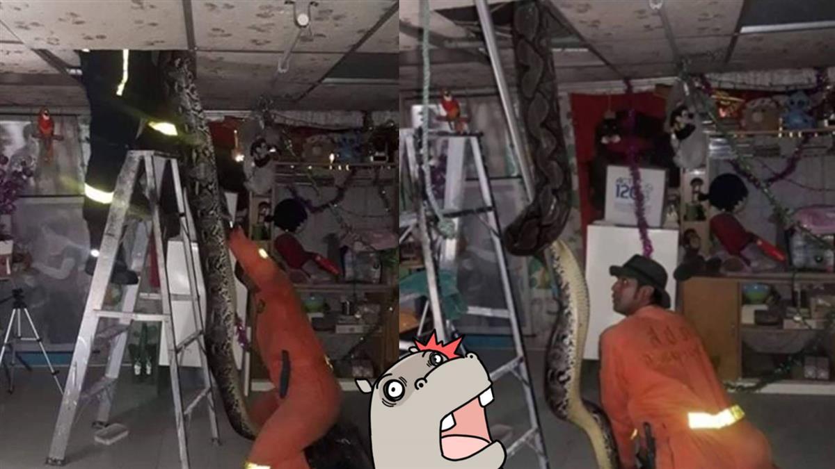 天花板藏50kg巨蟒!下秒一拉…7米粗尾蹦出