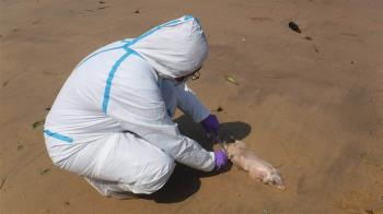 金門海漂豬第2例 災變中心:檢出非洲豬瘟