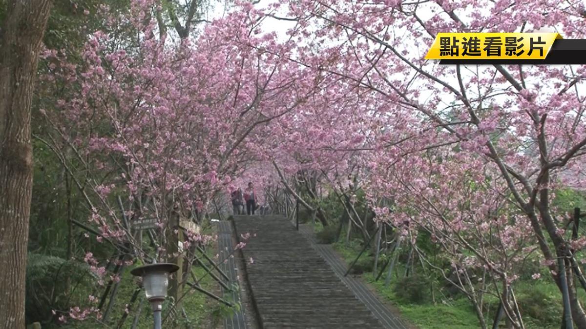 暖冬櫻花季不一 鹿谷櫻花隧道僅開5成