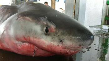 一屍15命!大白鯊懷孕被捕殺拍賣 衝浪教練慟斥