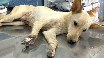 捕獸夾切斷前肢露白骨  小狗剩3腿