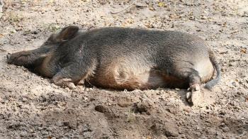 拐杖斷了拿鋤頭…92歲阿公擊斃80公斤野豬!