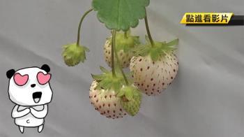 一串花只留一顆果!埔里白草莓 1斤1500元