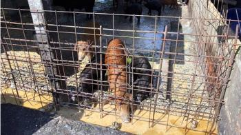 防範非洲豬瘟 台東4月起禁廚餘養豬