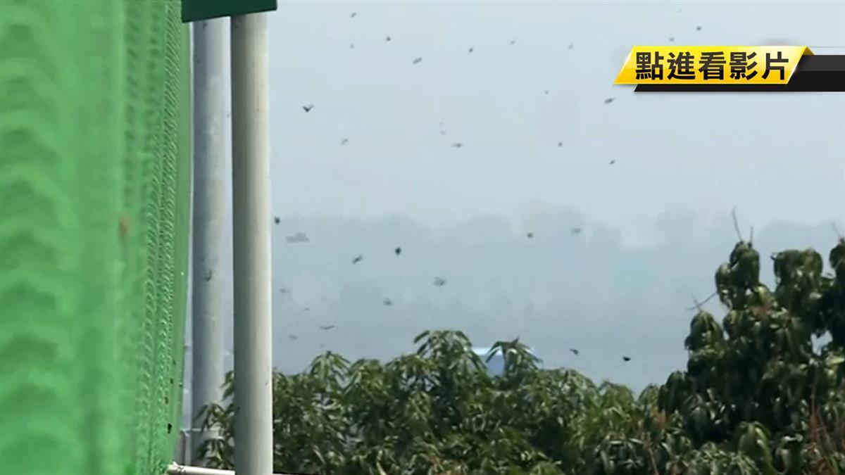 暌違多年蝶河重現國道 紫斑蝶遷徙爆大量