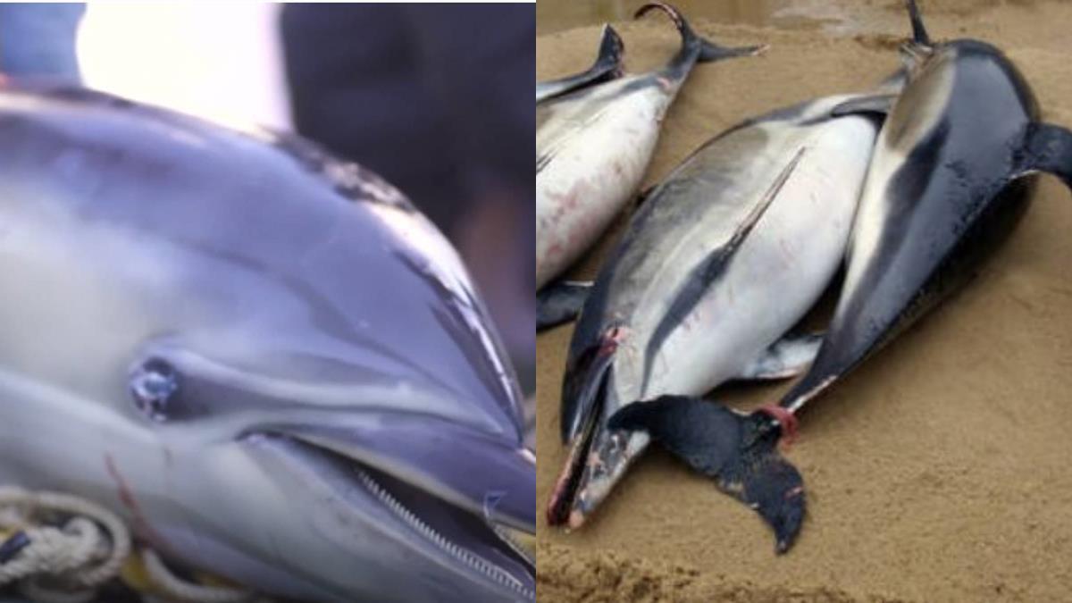 法海岸驚見1100具豚屍!慘死原因成謎