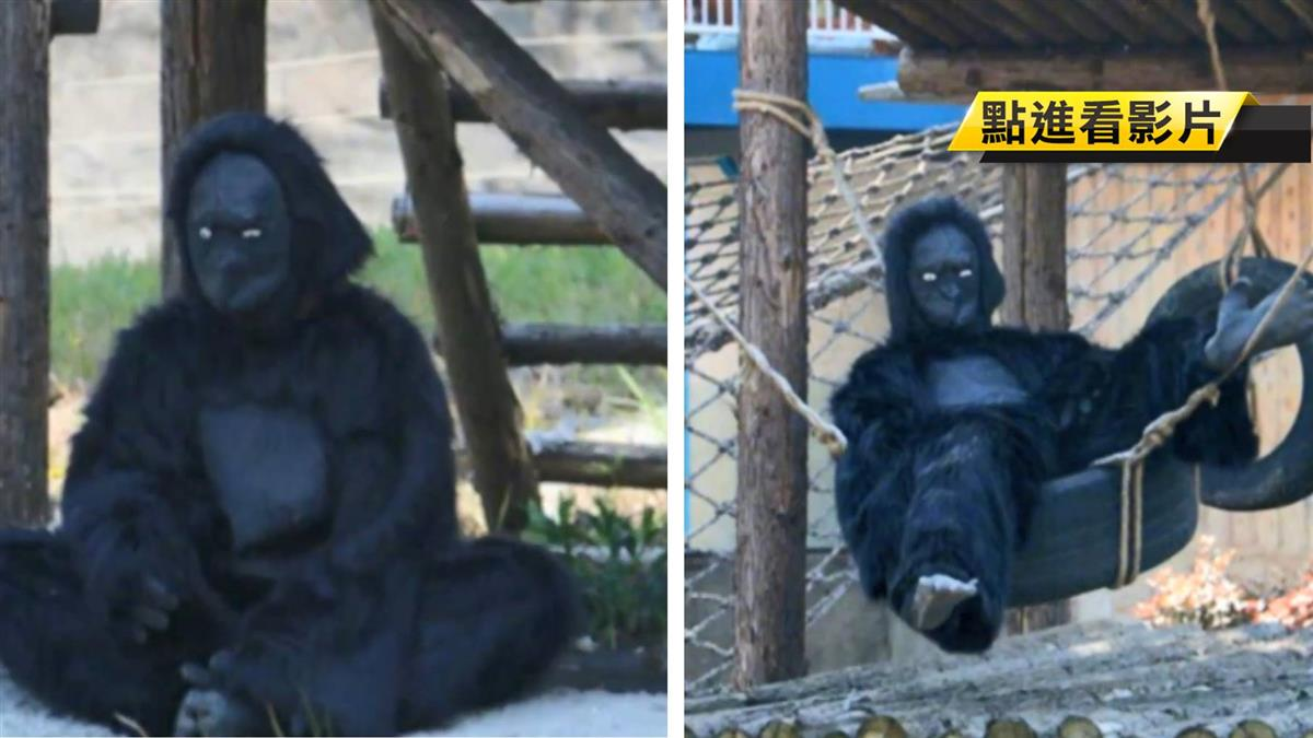 動物園工讀生扮猩猩 遊客怒:誰要花錢來被騙