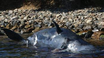 22kg塑膠垃圾卡胃 抹香鯨擱淺1屍2命