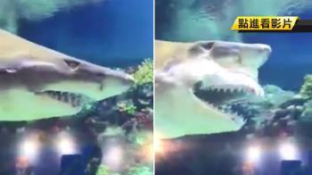 鯊魚突掉假牙 秒甩回嘴裡!網笑:想到阿嬤