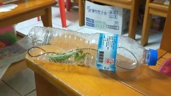 女兒抓螳螂 4倍長黑蟲爆出蠕動!網頭皮發麻