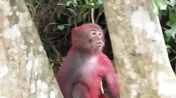 新物種?宜蘭驚見火紅色獼猴 原因好心碎
