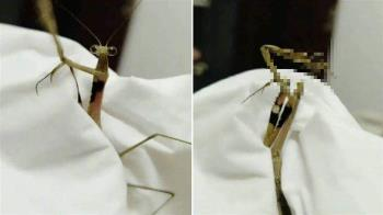 斷頭求亡?螳螂自刎照曝光…專家說話了