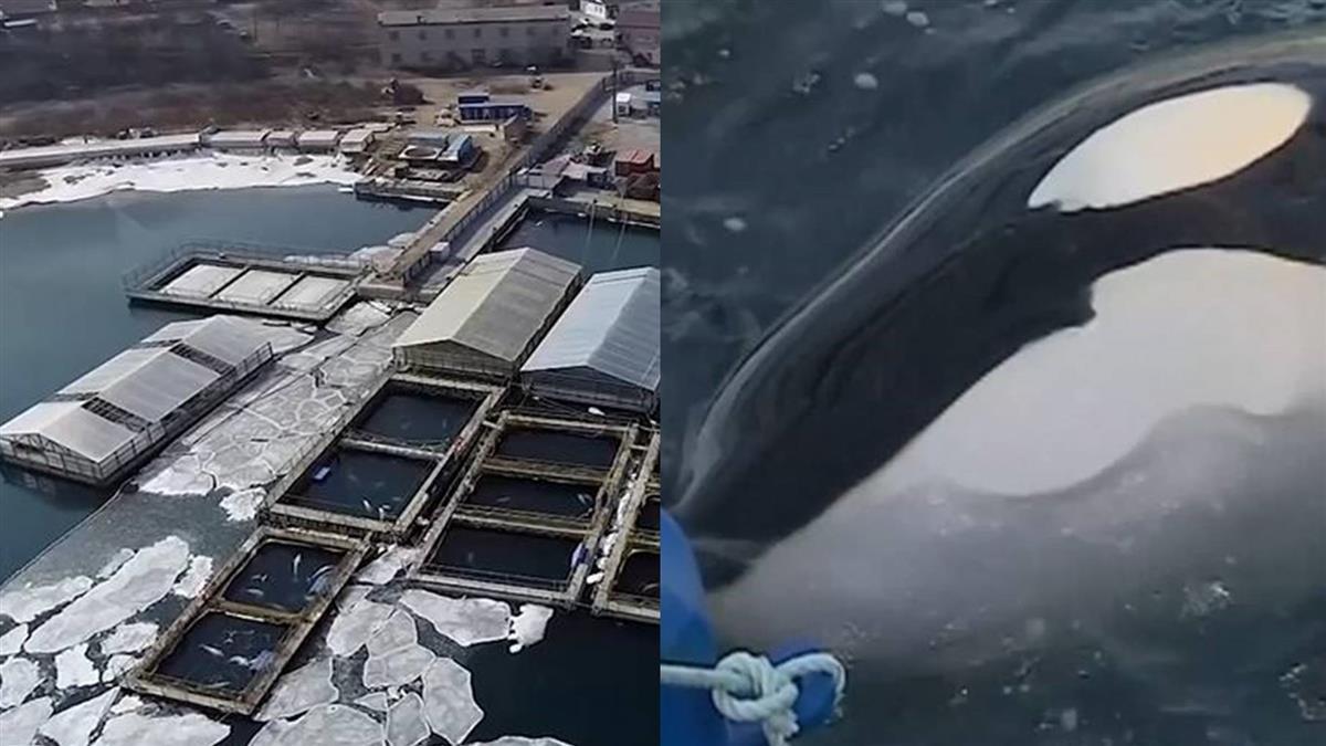 1隻鯨魚價上億!俄羅斯鯨魚監獄讓普丁怒了