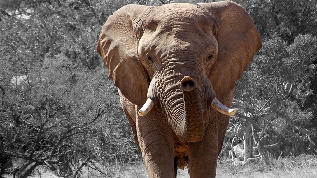 飼育員忘餵食…遭飢餓大象抓狂活活踩死
